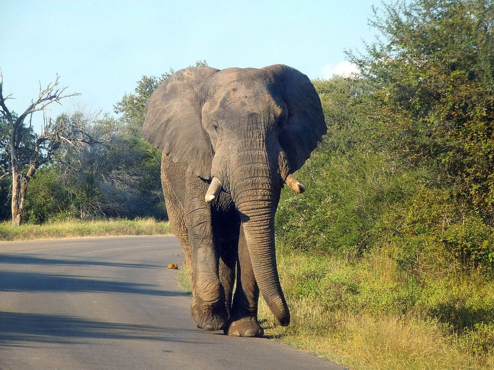 Varšavská zoologická záhrada bude vystresované slony liečiť marihuanou