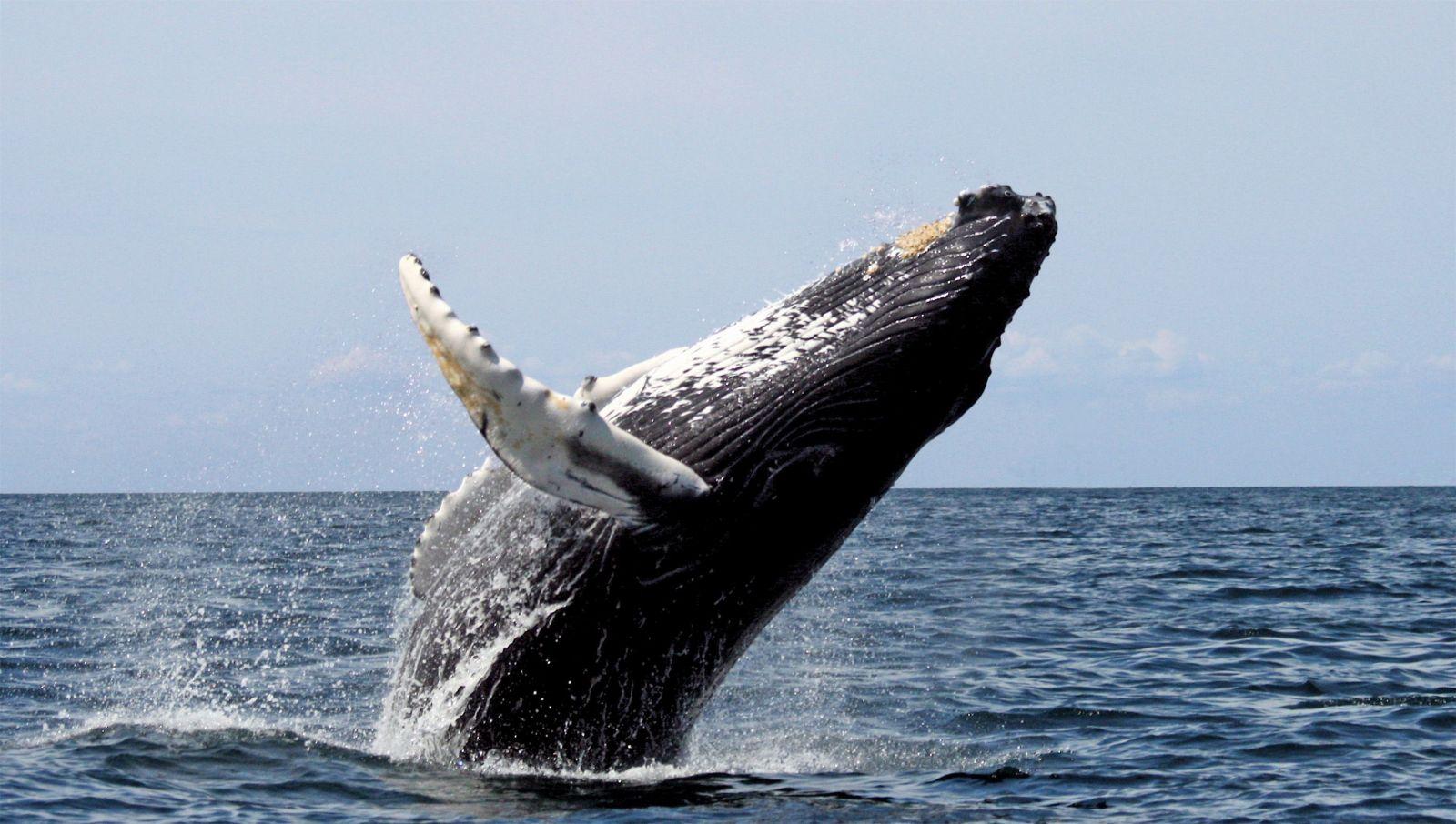 Japonsko začína opätovne loviť veľryby na komerčné účely, oficiálne tak naposledy urobilo v roku 198ž