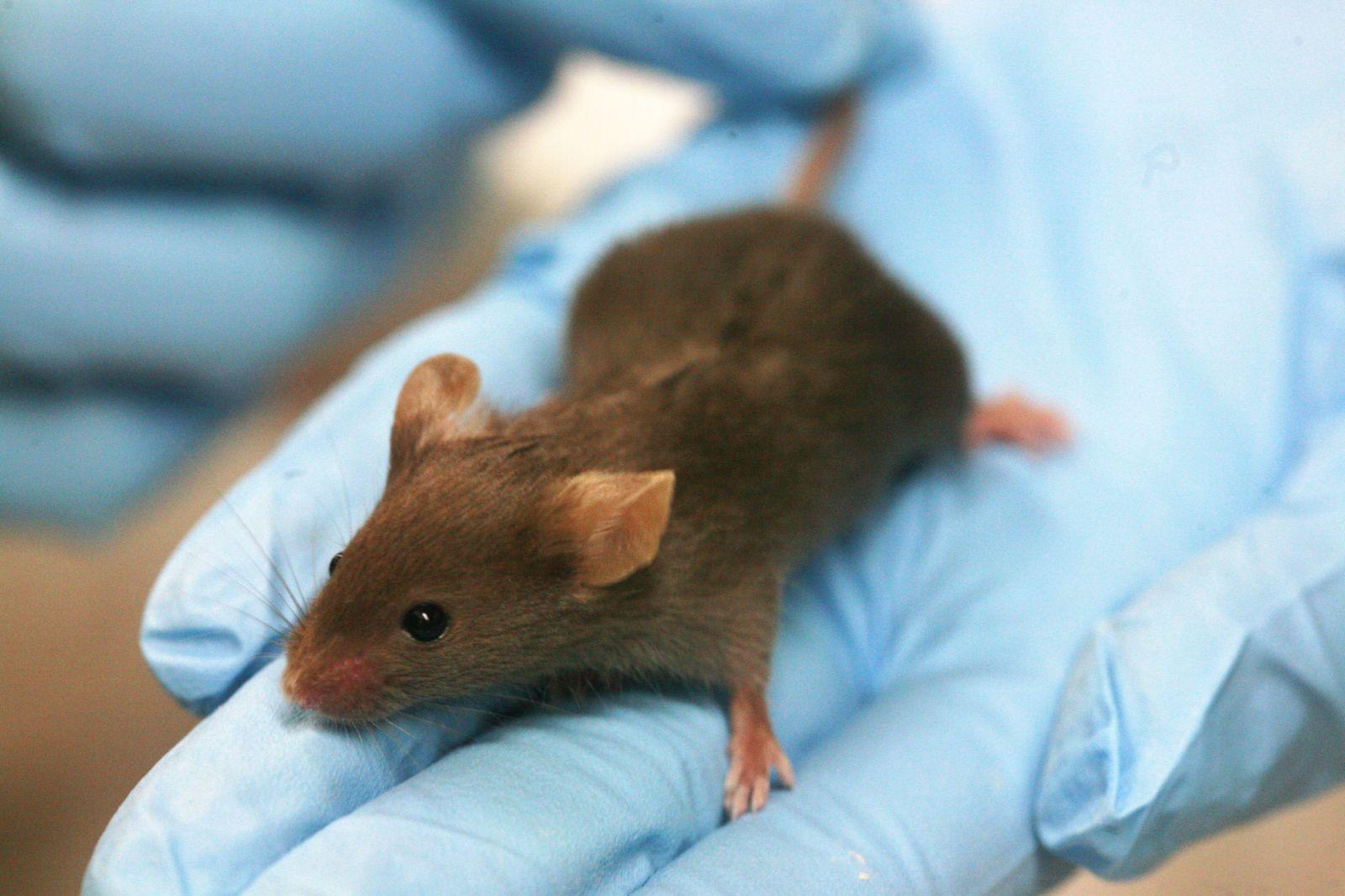 Průlom v boji s HIV: Vědci poprvé v historii vyléčili nakažené myši