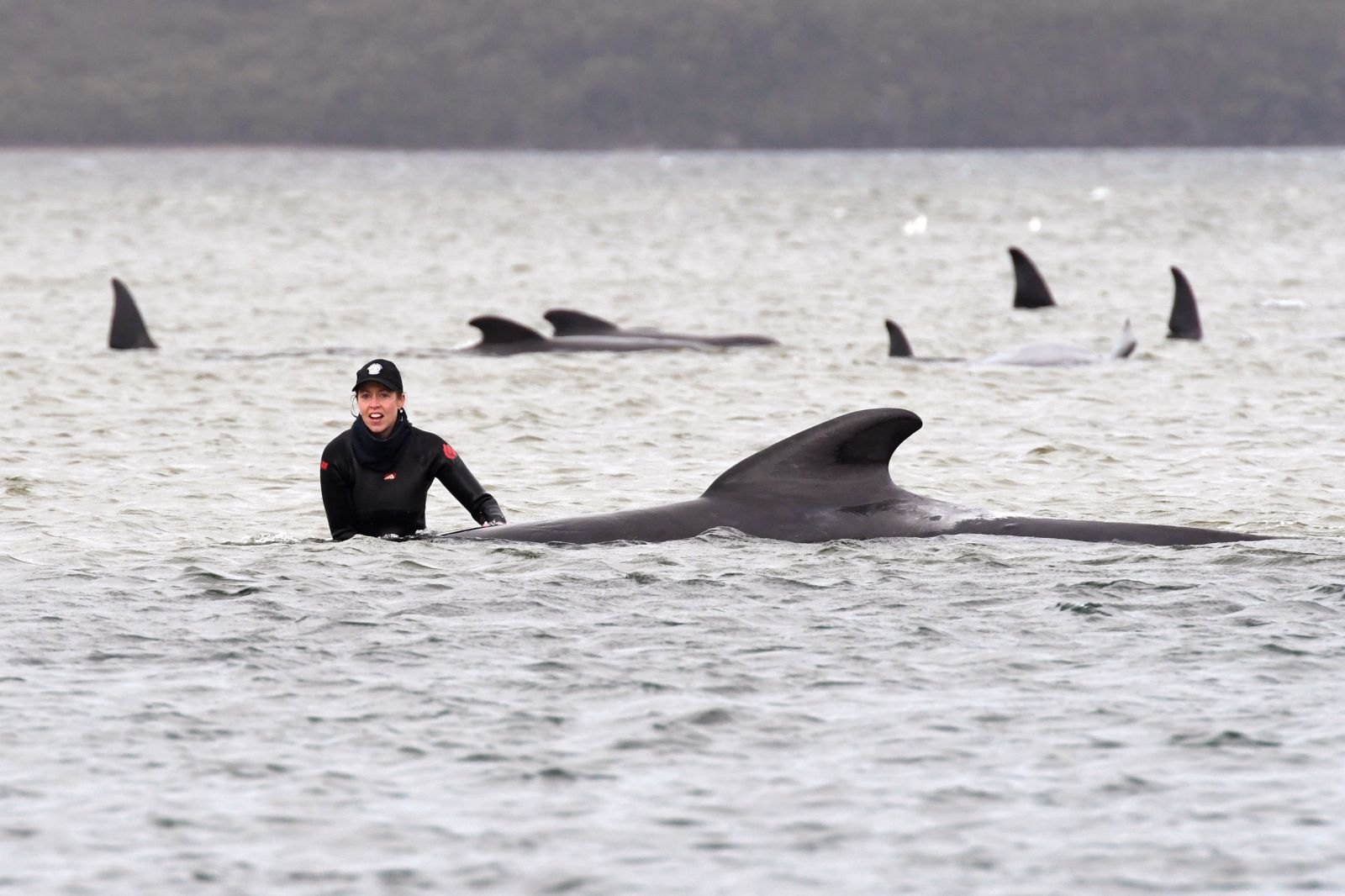 Na pobreží Tasmánie uviazlo takmer 500 veľrýb, väčšina z nich zahynula