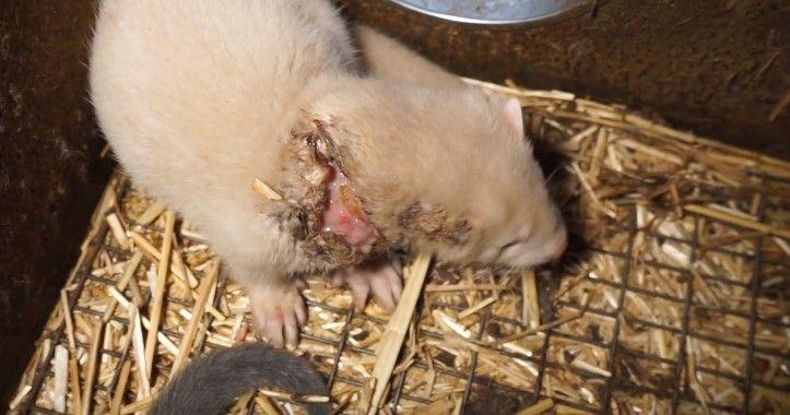 Ochrancovia zvierat: Na slovenskej kožušinovej farme chovajú v biednych podmienkach do 5000 norkov