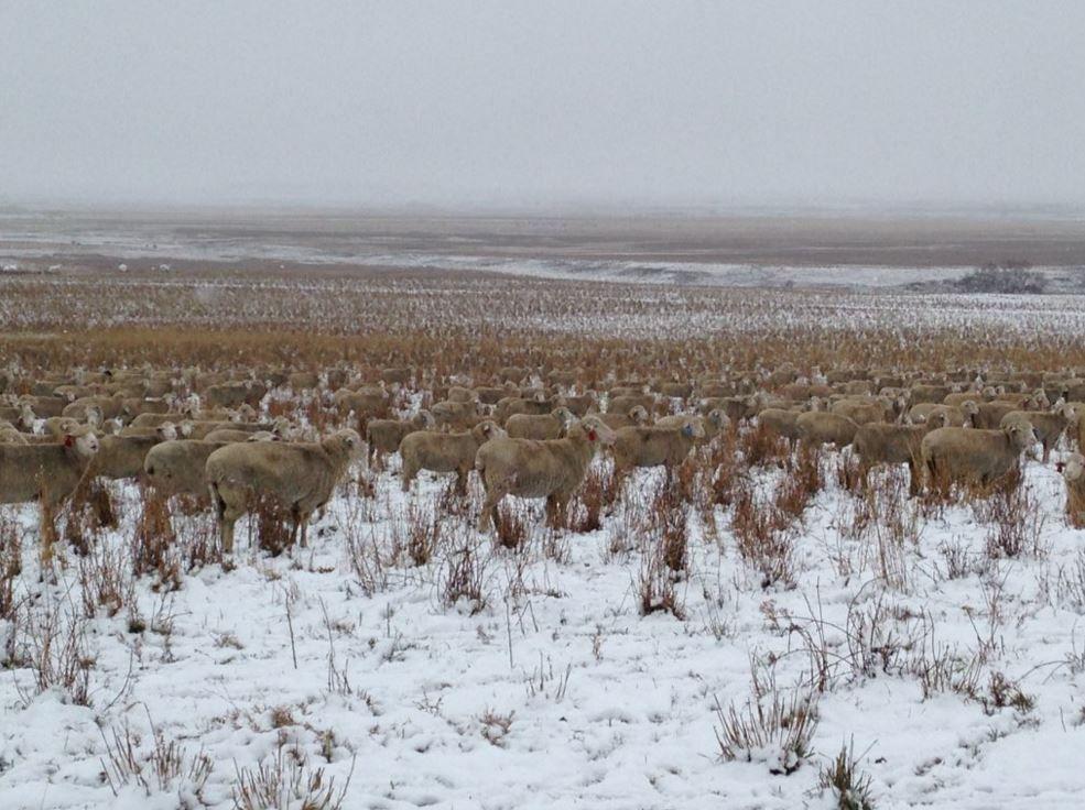 Na tejto fotografii sa nachádza 500 oviec. Vidíš ich?
