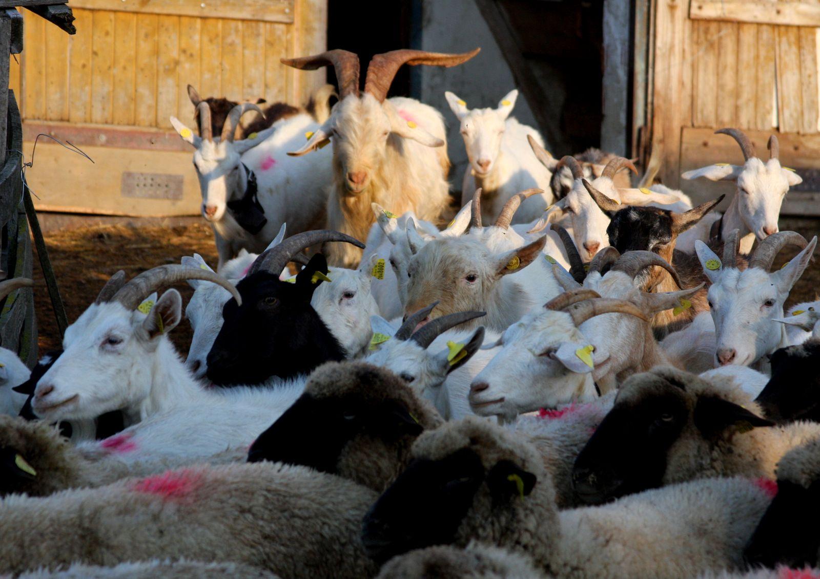 Stádo oviec na ekofarme v Proči práve vychádza z maštale a pridáva sa k ovciam na pašu.