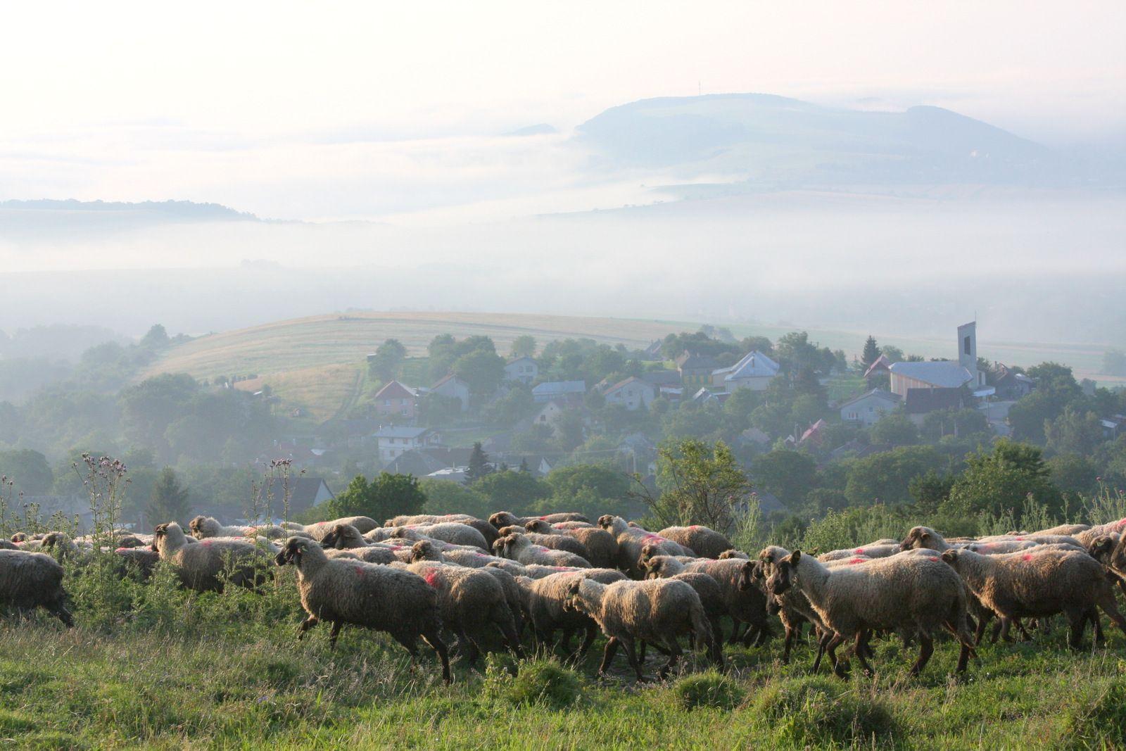 6:30. Stádo oviec plemena Cigaja a kôz sa vyháňa na pašu. V pozadí obec Proč a Slánske vrchy zahalené rannou hmlou.
