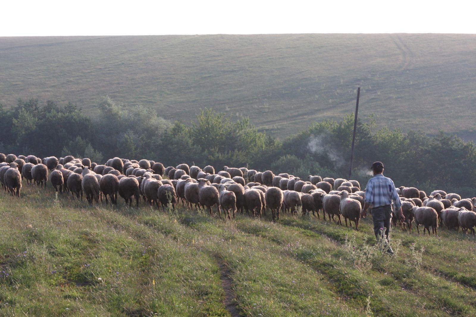 Ekologický chov oviec na ovčej farme nad obcou Proč.