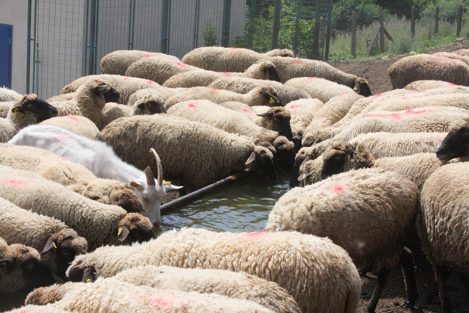 Na ekofarme chovajú967 oviec, 184 kôz, 170 kráv a 100 býkov.