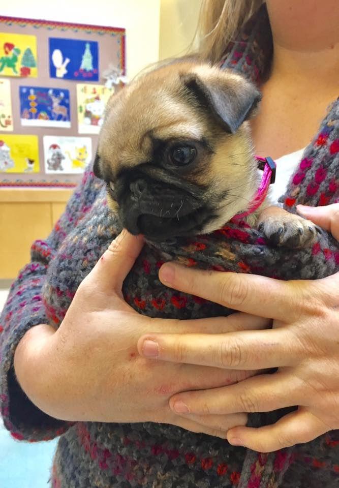 Šesťnohý mopslík Lulu bol zachránený adopciou. Chovatelia takýchto psov väčšinou nechajú utratiť