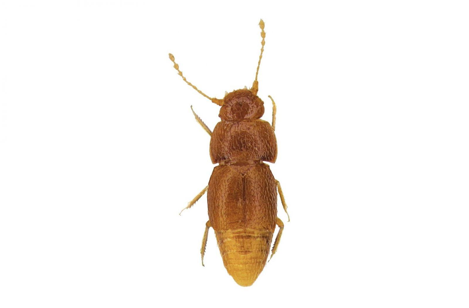 Londýnske múzem pomenovalo novoobjaveného chrobáka po Grete Thunberg