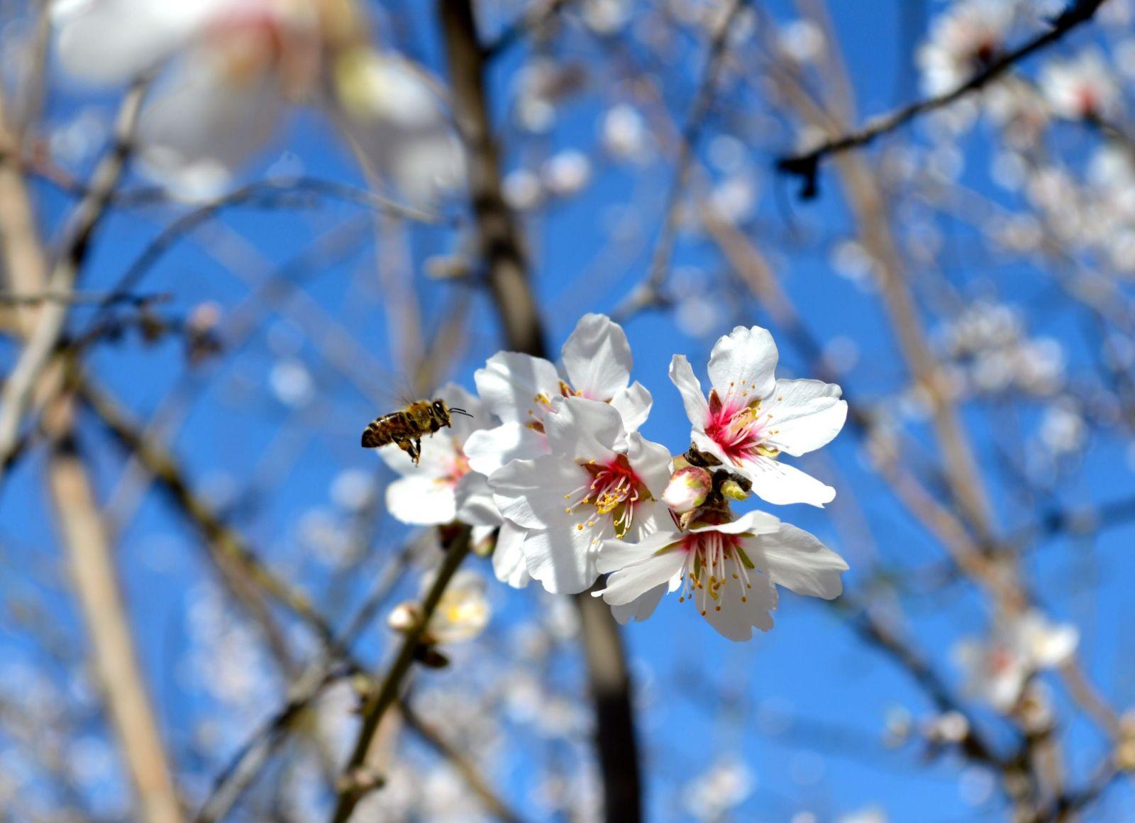 Pestovanie mandlí a vysoká spotreba mandľového mlieka zabíja včely. Za minulú zimu ich uhynulo až 50 miliárd