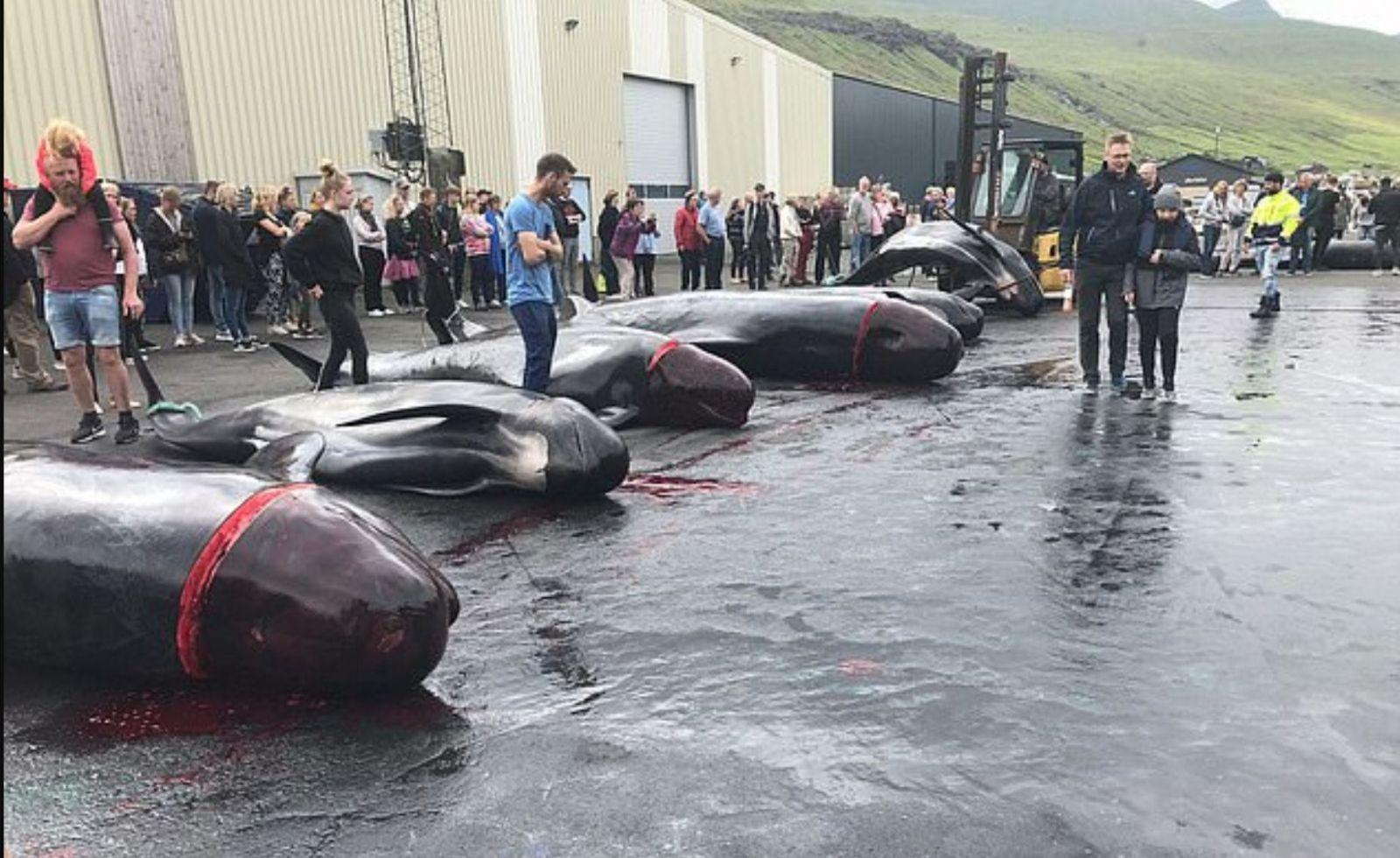Lovci kruto zabili 23 veľrýb a more sfarbili dočervena