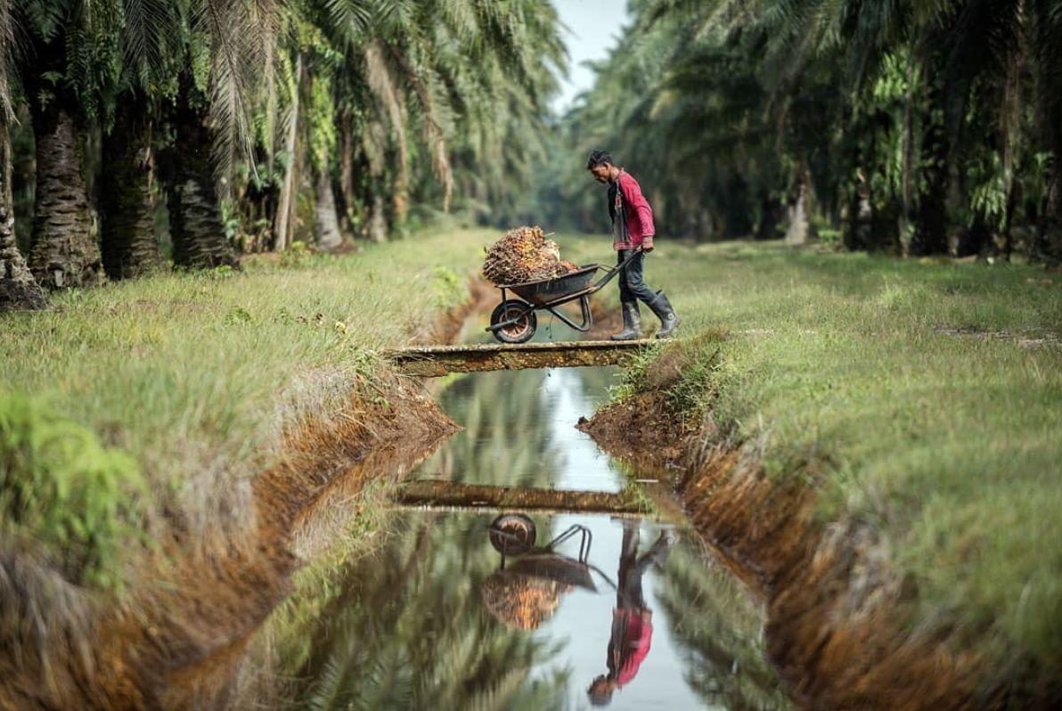 Farmári z Indonézie sexuálne zneužívali orangutána. To všetko pre palmový olej, ktorý nájdeš v čokoláde alebo kozmetike