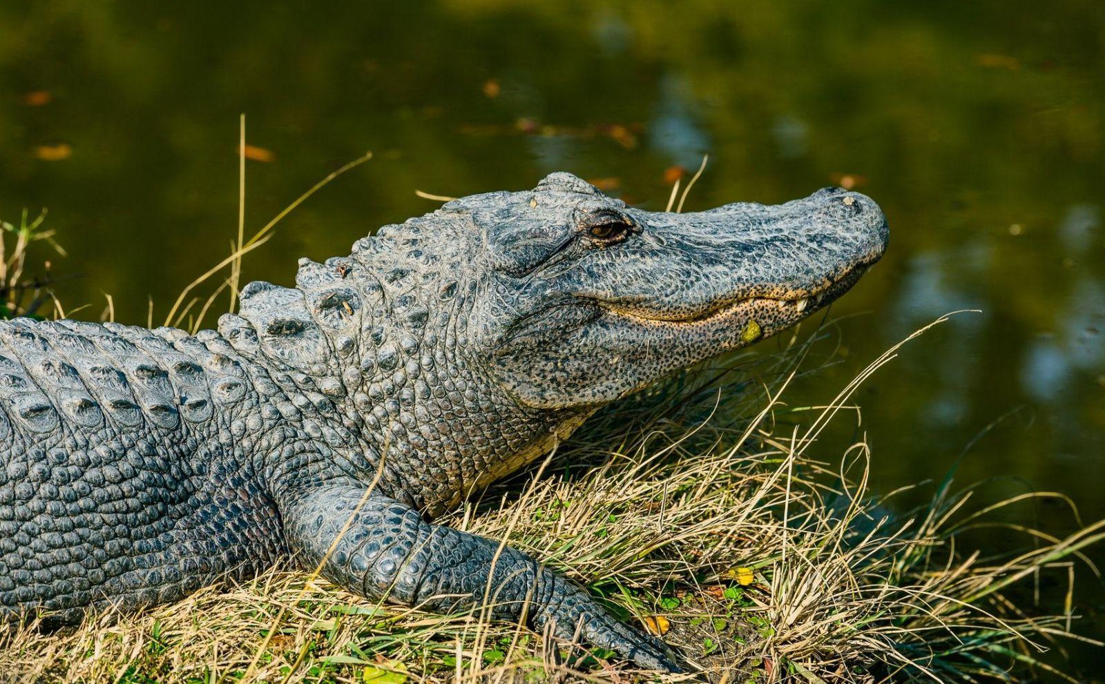 40 aligátorov zdrogovali ketamínom. Vedci im potom nasadili slúchadlá, chceli vedieť, ako fungoval sluch dinosaurov