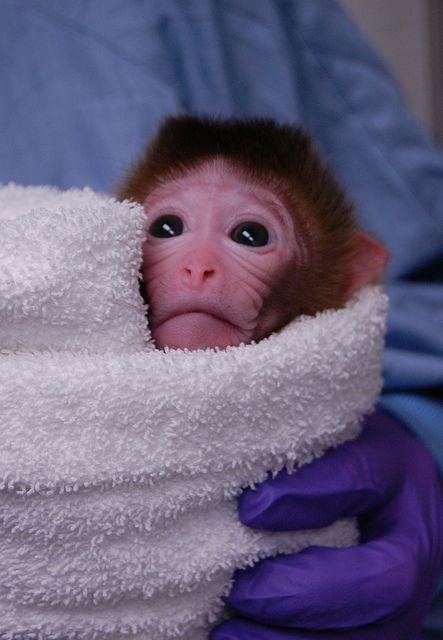 Skupina vedcov chcú vytvoriť hybrid medzi opicou a človekom. Na takzvaných chimerách by sa mali robiť experimenty