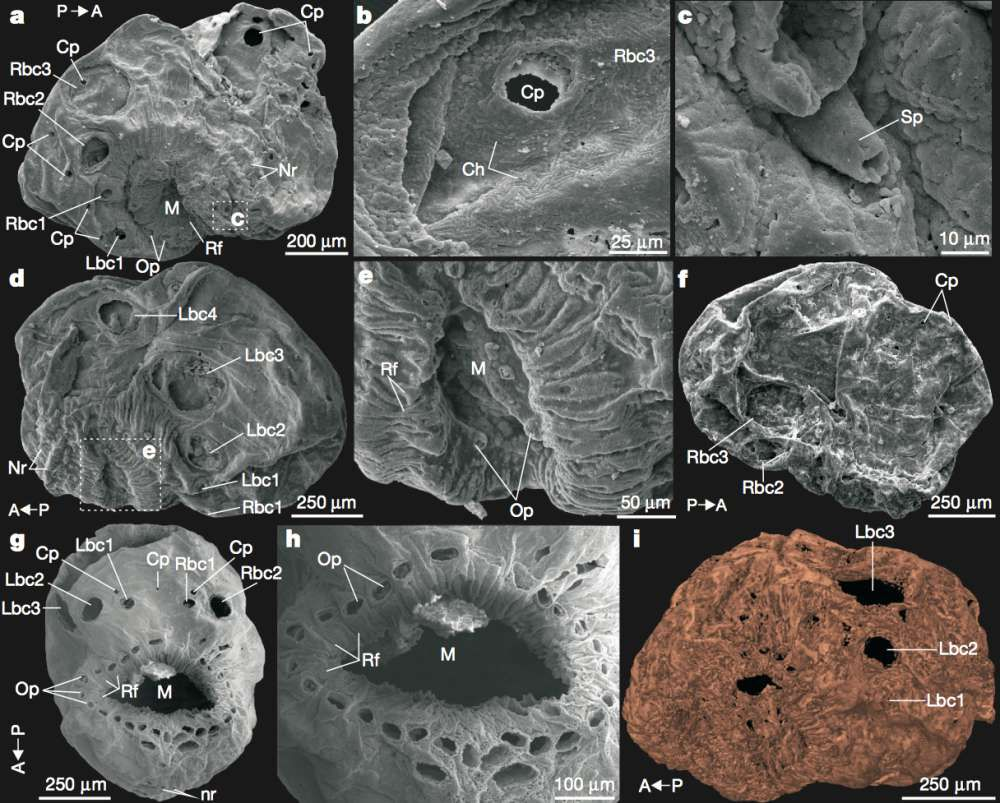 Nejstarší předek lidí nebyl větší než zrnko písku a neměl ani pořádný anální otvor