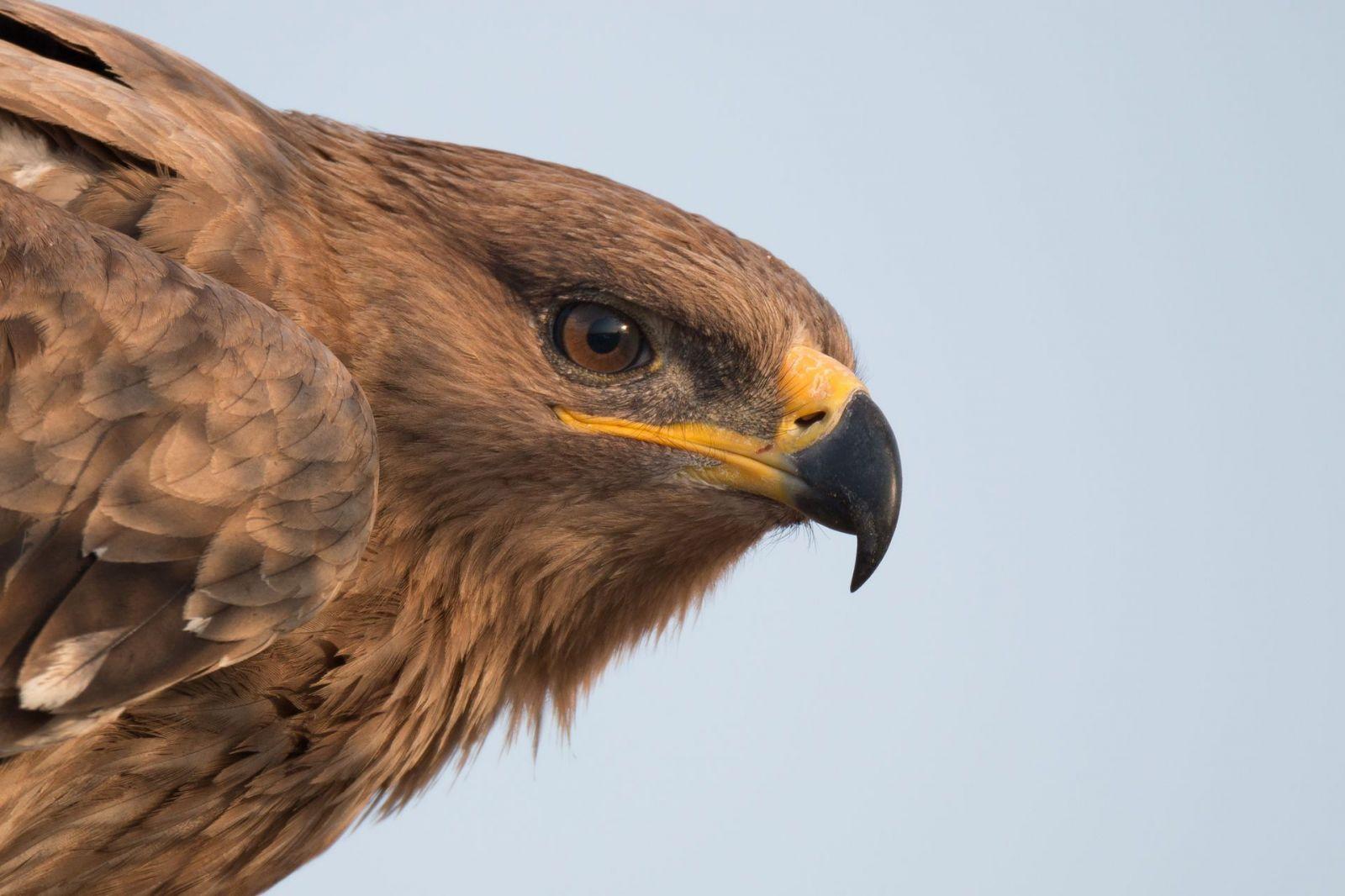 Ruskí vedci sledovali orlov pomocou dátového roamingu. Vtáky zaleteli do zahraničia a vedcov faktúra za SMS skoro zruinovala